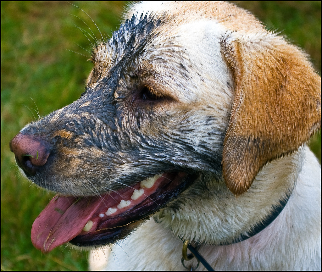 A muddy dog is a happy dog! by Iáin Aléxander, on Flickr