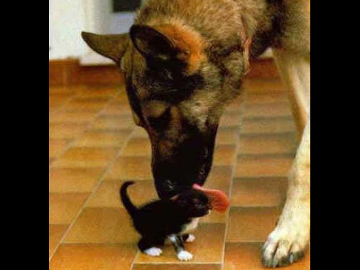 dog licks kitten