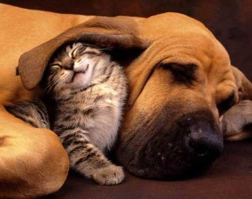 kitten under dog's ear