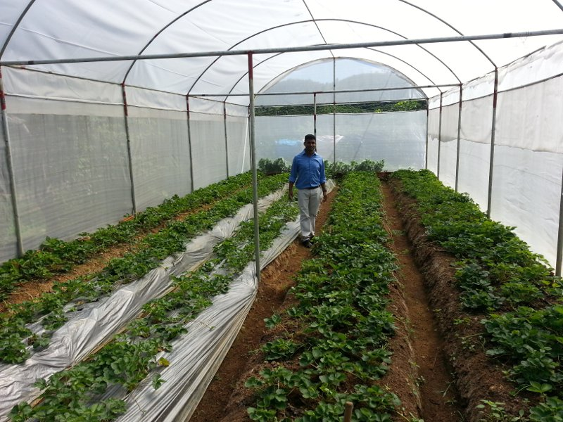 One of the development projects is a strawberry growing operation