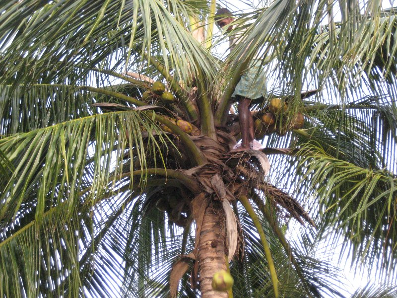 Cutting down coconuts (you can see one falling)
