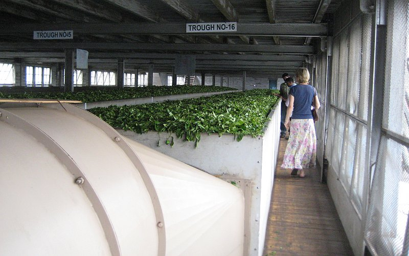 Drying the tea leaves before they are rolled, crushed and fermented